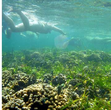 Snorkeling il Mangrove Coral Garden in Bastimentos isola a Bocas del Toro, Panama